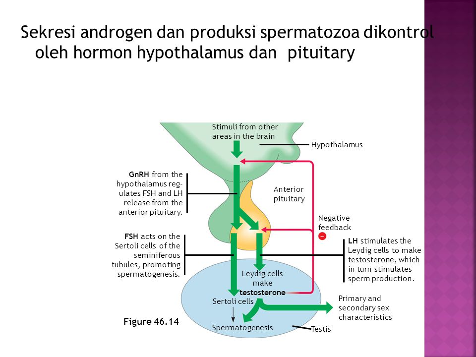 Sekresi androgen dan produksi spermatozoa dikontrol oleh hormon hypothalamus dan pituitary