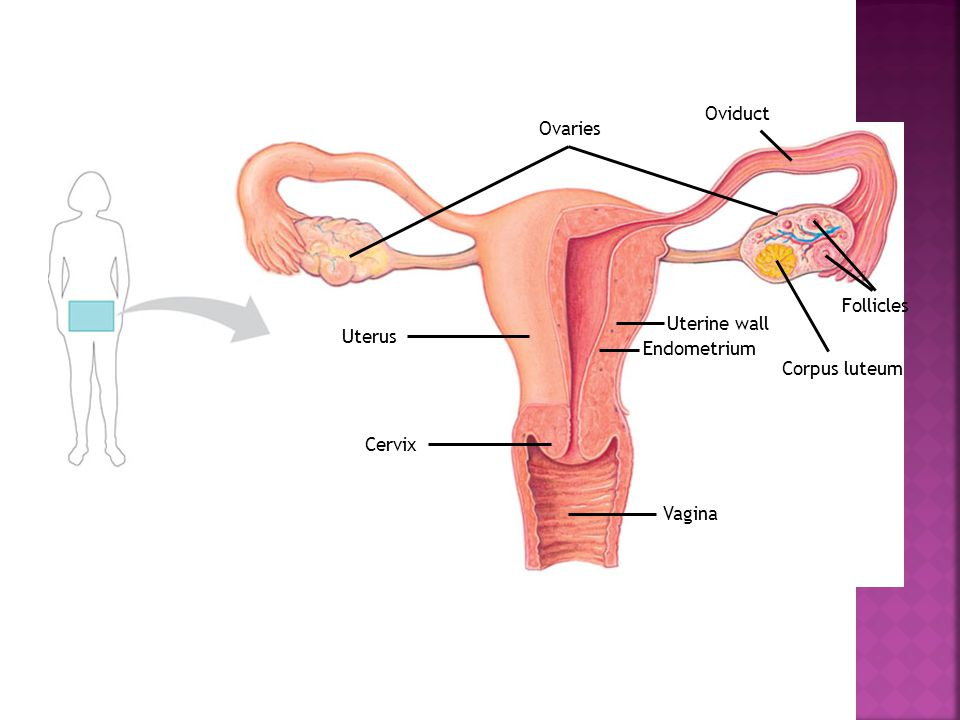 Vagina Uterus Cervix Ovaries Oviduct Uterine wall Endometrium Follicles Corpus luteum