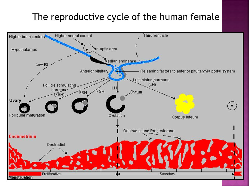 The reproductive cycle of the human female