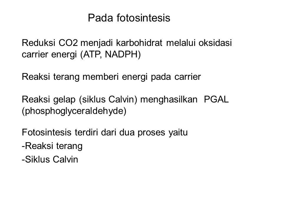 Pada fotosintesis Reduksi CO2 menjadi karbohidrat melalui oksidasi carrier energi (ATP, NADPH) Reaksi terang memberi energi pada carrier.
