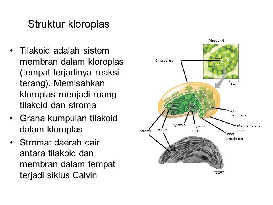 Struktur kloroplas Chloroplast. Mesophyll. 5 µm. Outer. membrane. Intermembrane. space. Inner.