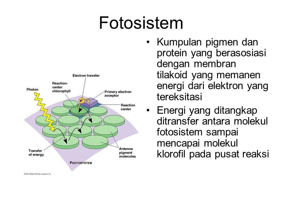 Fotosistem Kumpulan pigmen dan protein yang berasosiasi dengan membran tilakoid yang memanen energi dari elektron yang tereksitasi.
