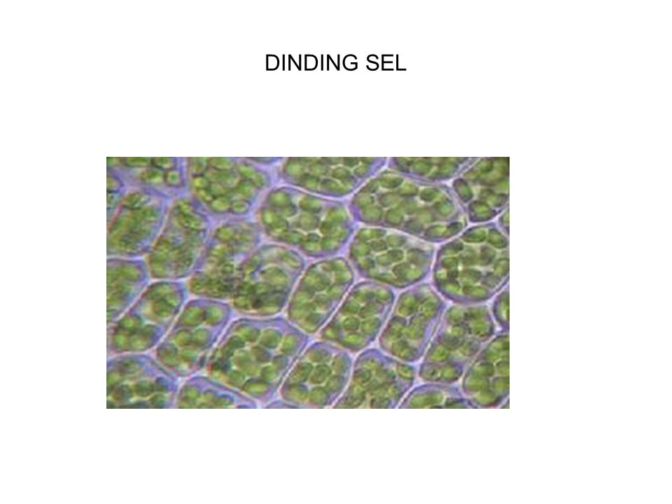 DINDING SEL
