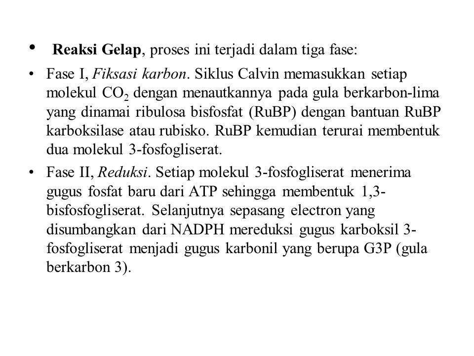 Reaksi Gelap, proses ini terjadi dalam tiga fase: