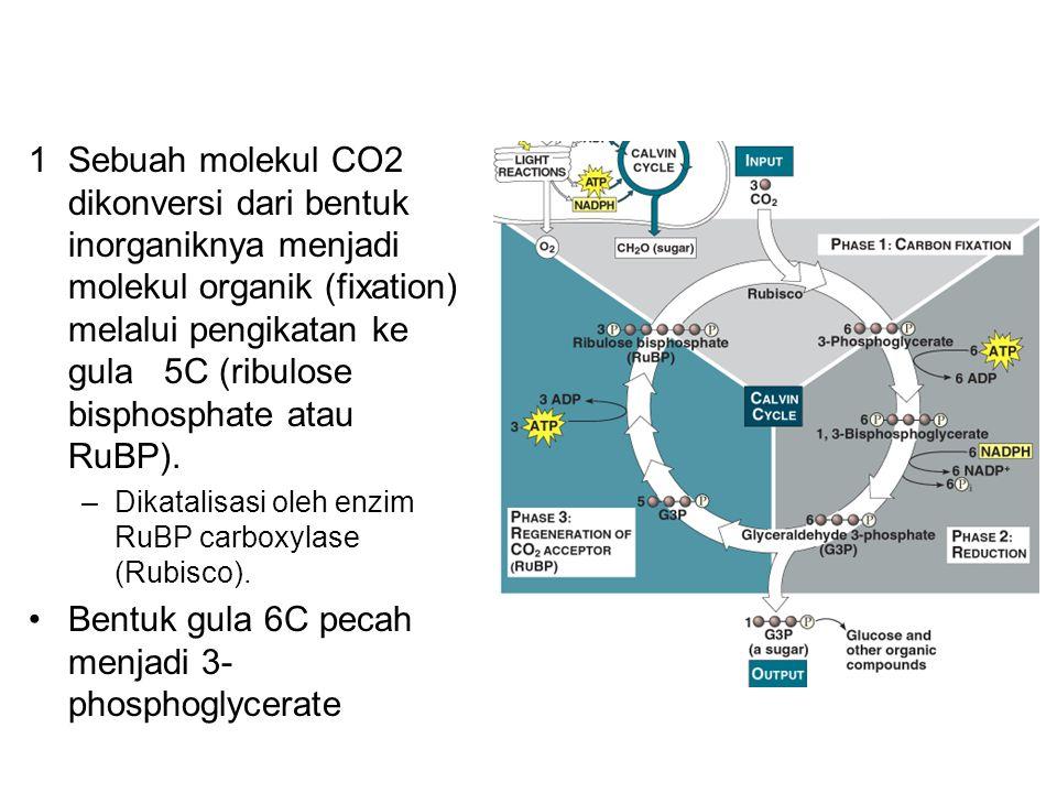 Bentuk gula 6C pecah menjadi 3-phosphoglycerate