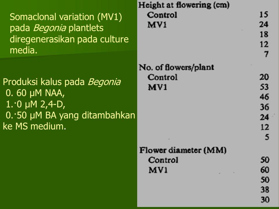 Somaclonal variation (MV1) pada Begonia plantlets diregenerasikan pada culture media.
