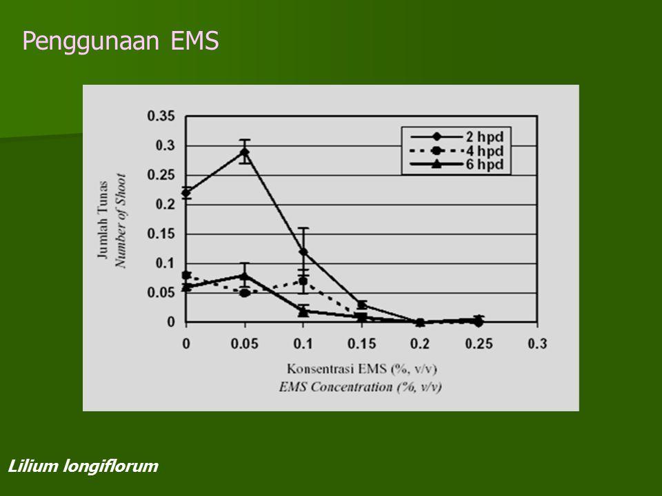 Penggunaan EMS Lilium longiflorum