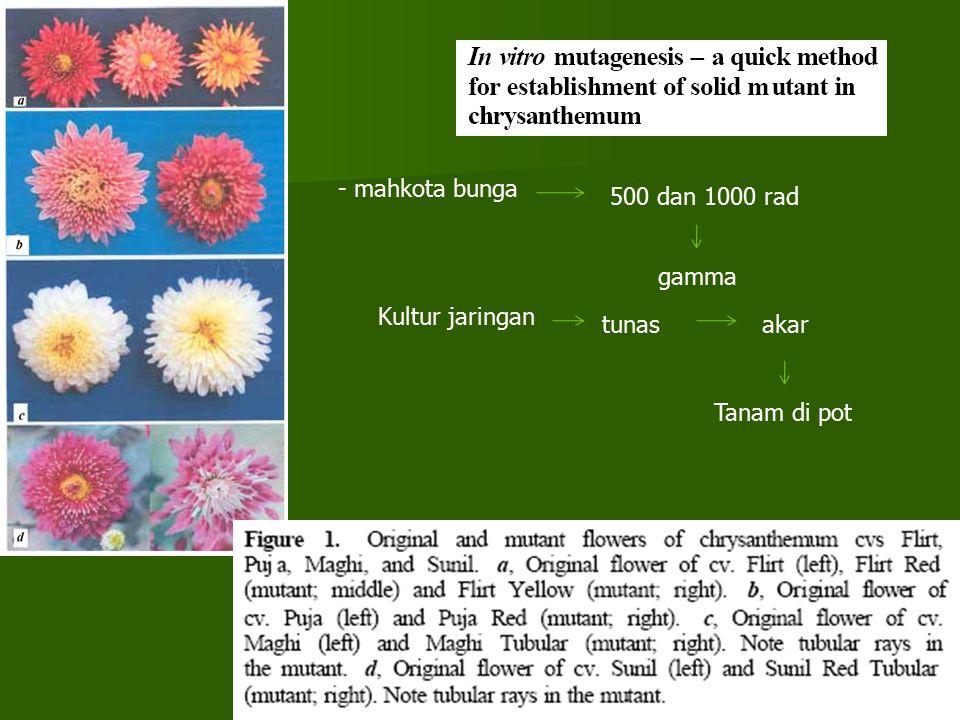 - mahkota bunga 500 dan 1000 rad gamma Kultur jaringan tunas akar Tanam di pot