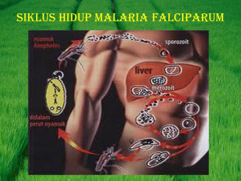 Siklus hidup malaria falciparum