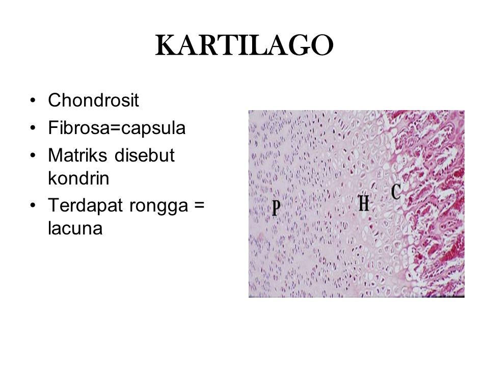 KARTILAGO Chondrosit Fibrosa=capsula Matriks disebut kondrin