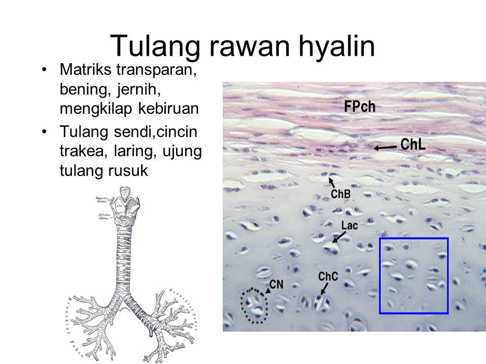 Tulang rawan hyalin Matriks transparan, bening, jernih, mengkilap kebiruan.