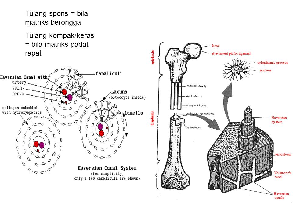Tulang spons = bila matriks berongga