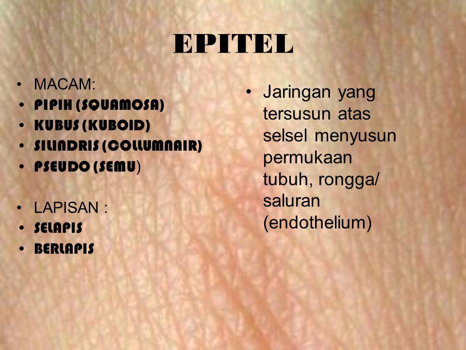 EPITEL MACAM: PIPIH (SQUAMOSA) KUBUS (KUBOID) SILINDRIS (COLLUMNAIR) PSEUDO (SEMU) LAPISAN : SELAPIS.