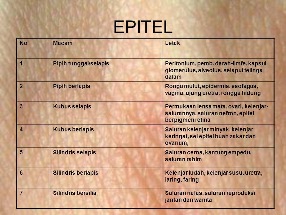 EPITEL No Macam Letak 1 Pipih tunggal/selapis