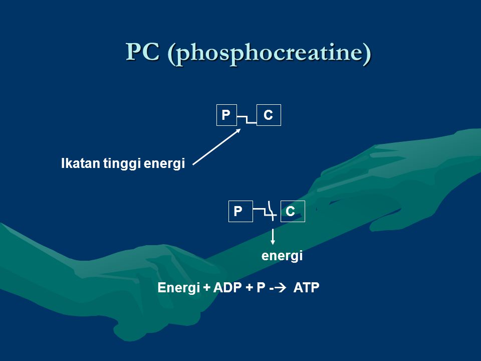 PC (phosphocreatine) P C Ikatan tinggi energi P C energi