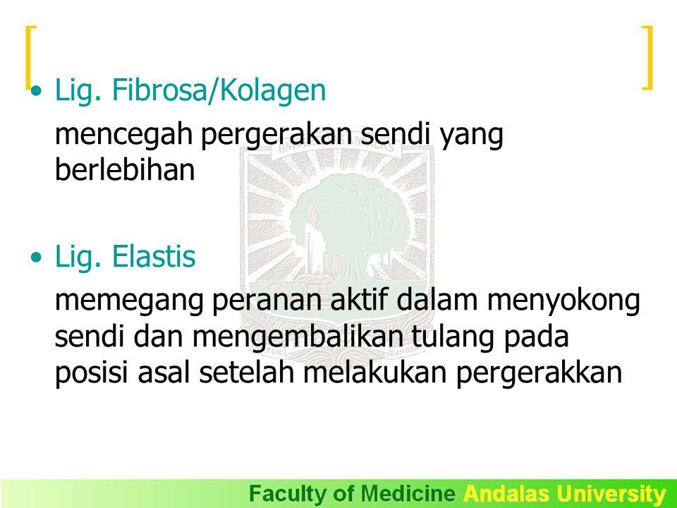 Lig. Fibrosa/Kolagen mencegah pergerakan sendi yang berlebihan. Lig. Elastis.
