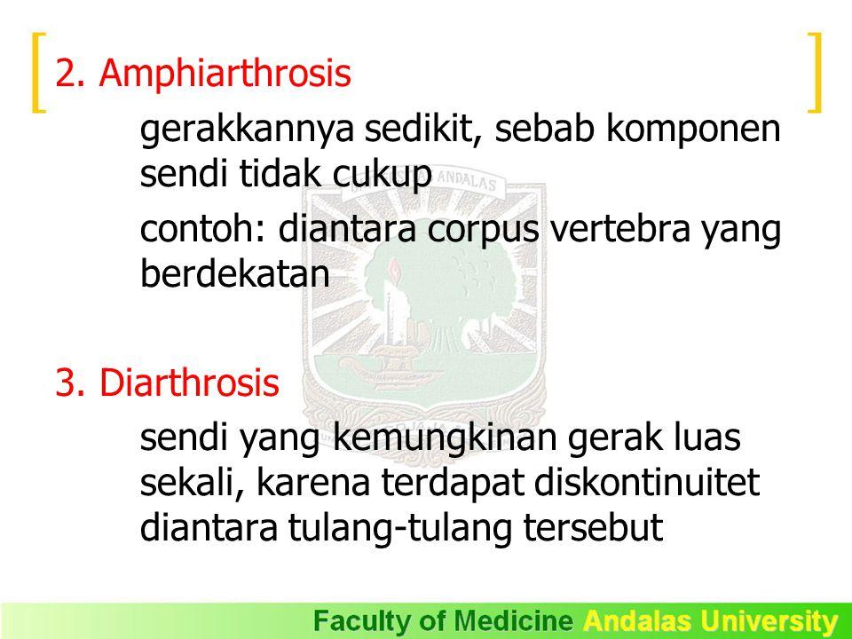2. Amphiarthrosis gerakkannya sedikit, sebab komponen sendi tidak cukup. contoh: diantara corpus vertebra yang berdekatan.