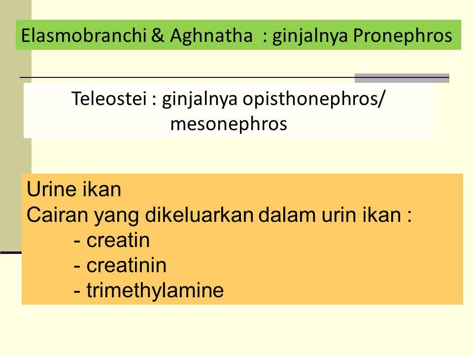 Teleostei : ginjalnya opisthonephros/ mesonephros
