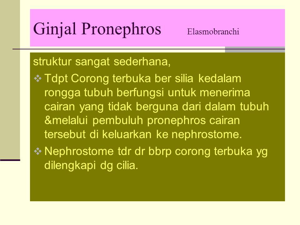 Ginjal Pronephros Elasmobranchi