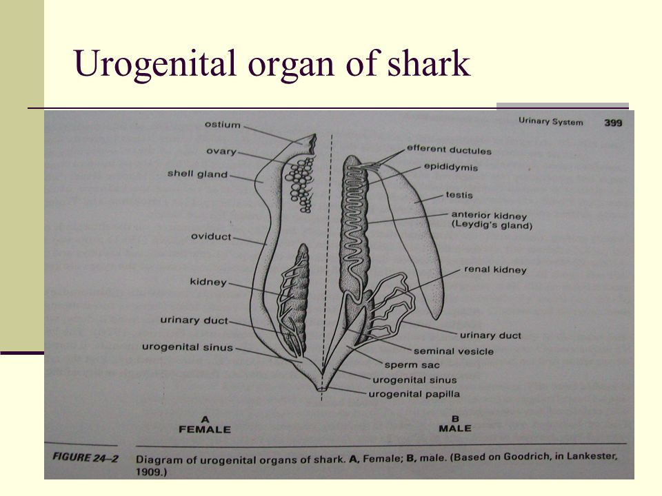 Urogenital organ of shark