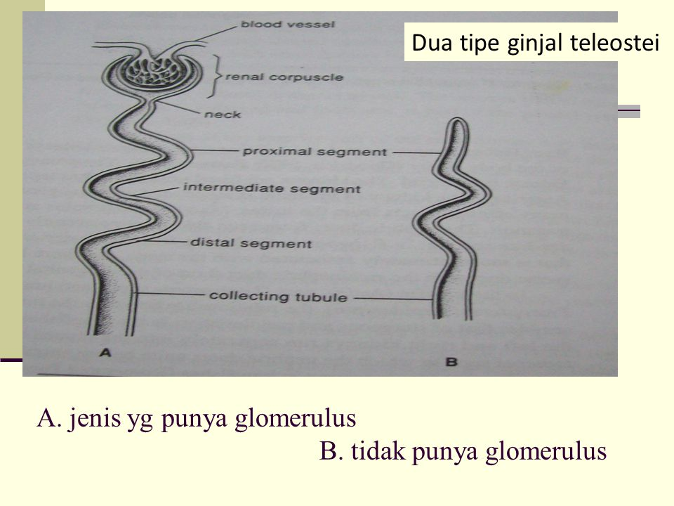 A. jenis yg punya glomerulus B. tidak punya glomerulus