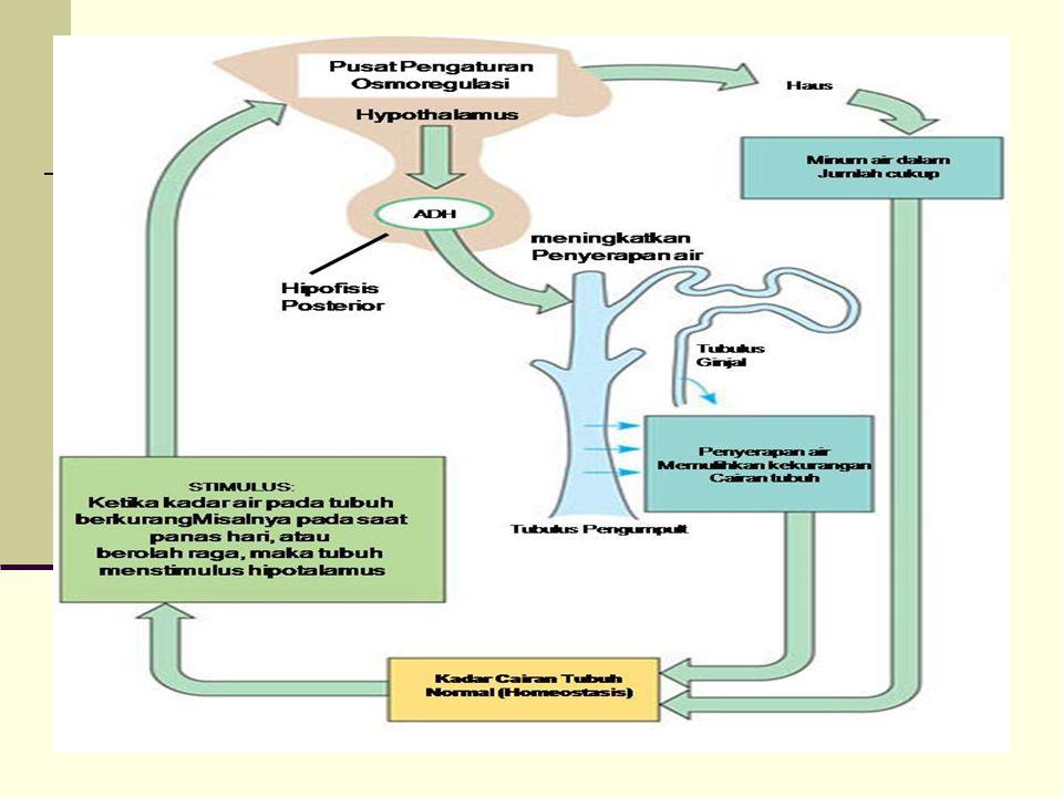 Pada saat panas haus stimulus bg hipothalamus utk melepas ADH (antidiuretic hormone). ADH berfungsi utk penyimpanan air dlm tubuh. Diuretic memacu laju pembentukan urine dlm tubuh.