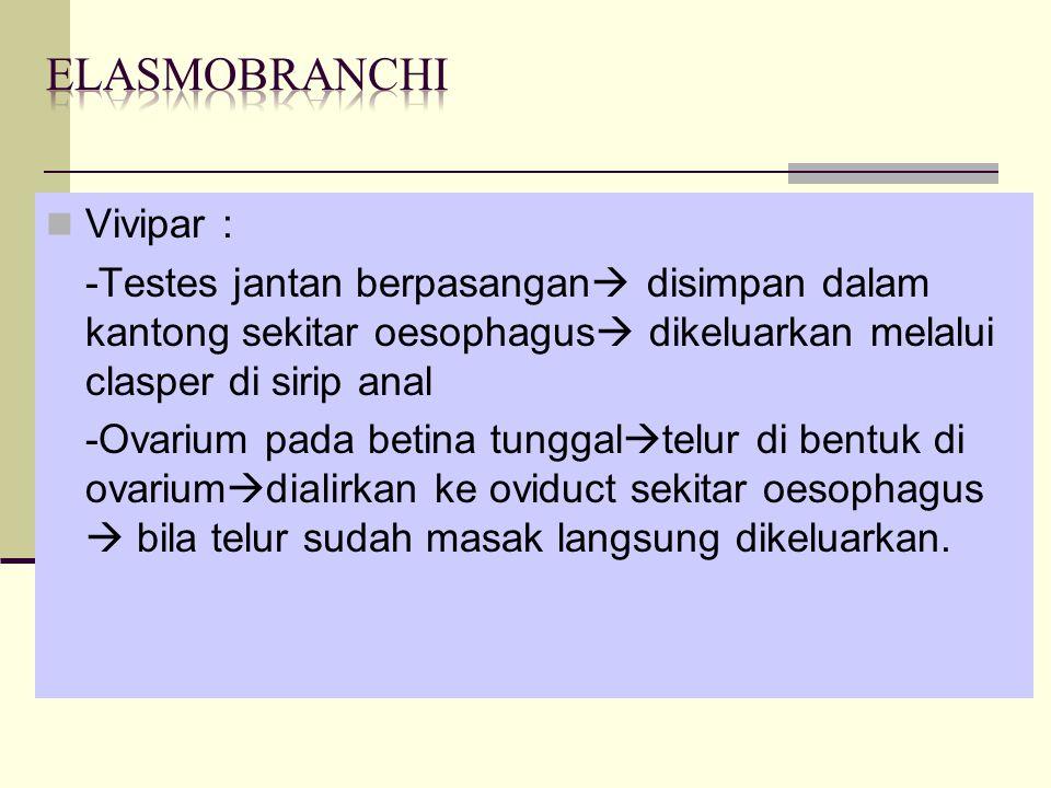 Elasmobranchi Vivipar :