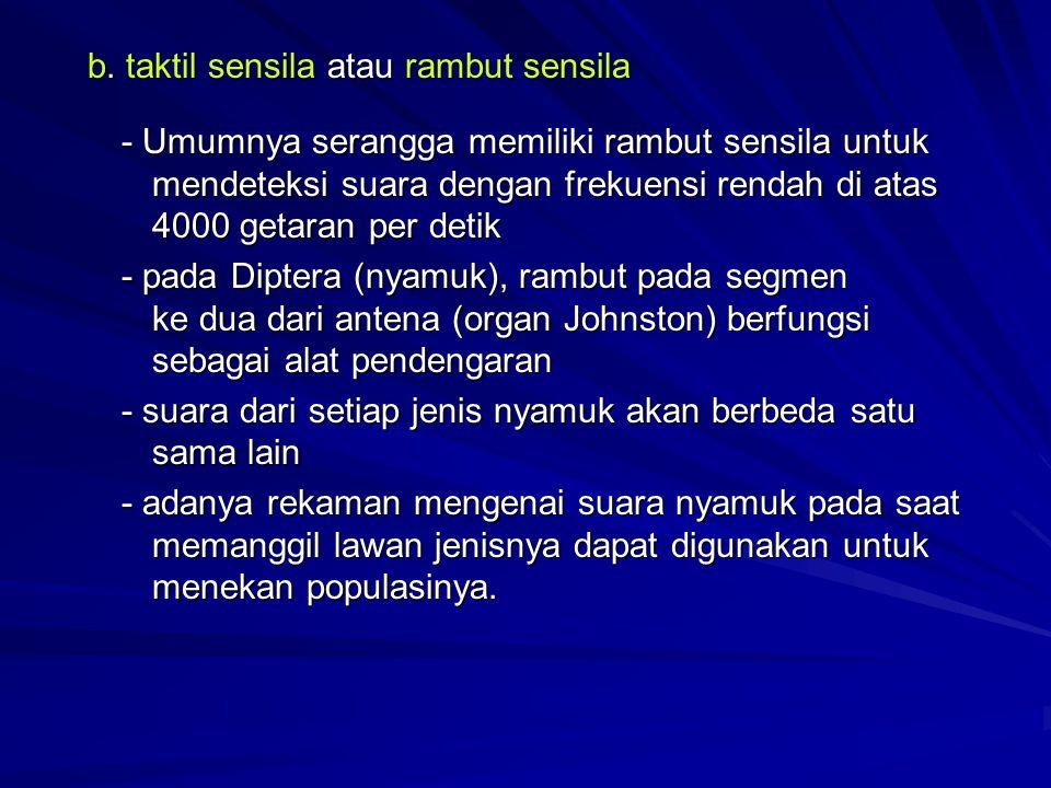 b. taktil sensila atau rambut sensila