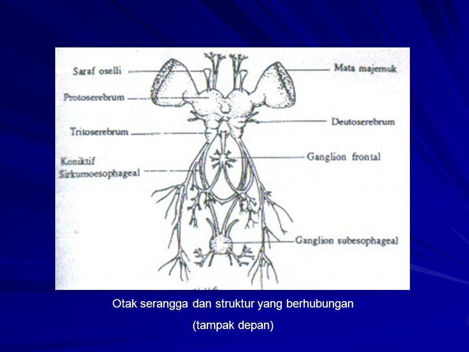 Otak serangga dan struktur yang berhubungan