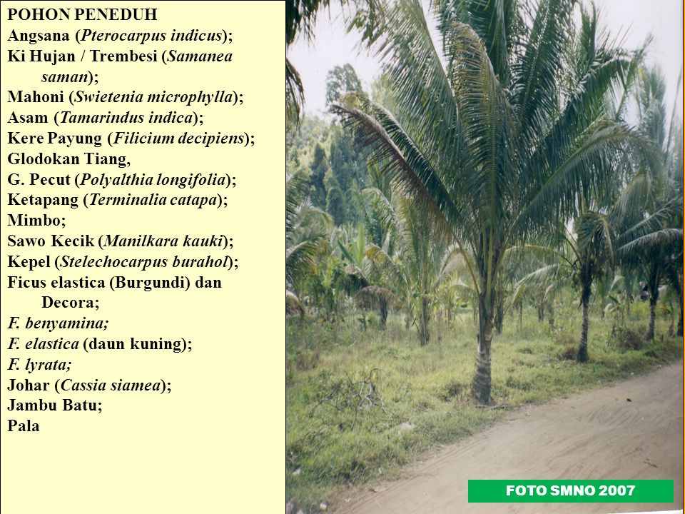 Angsana (Pterocarpus indicus); Ki Hujan / Trembesi (Samanea saman);