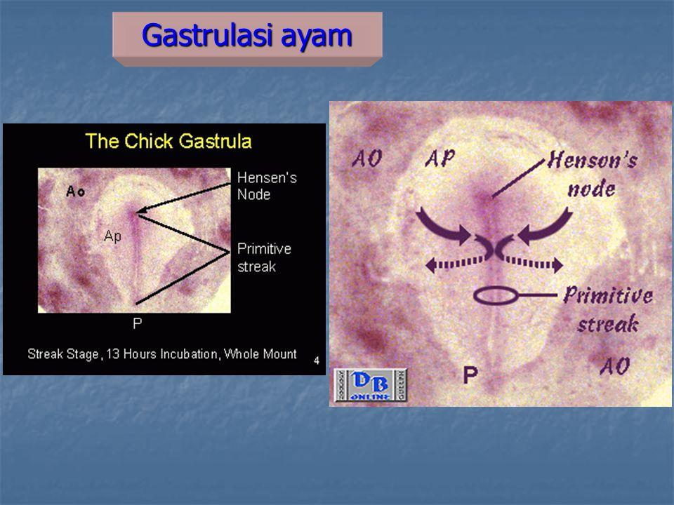 Gastrulasi ayam