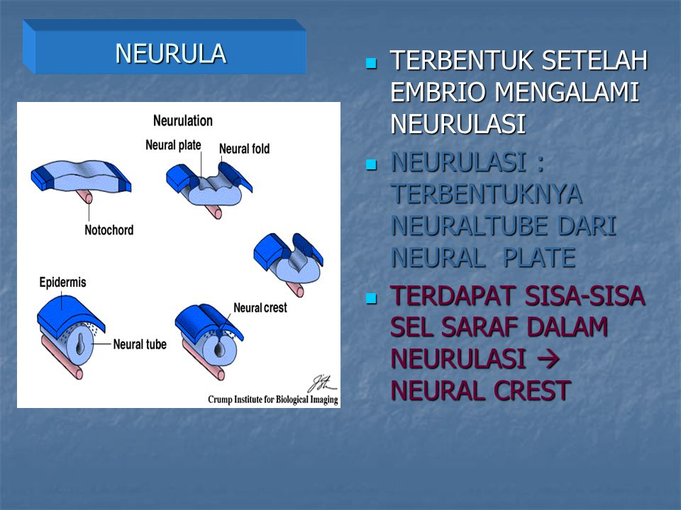 NEURULA TERBENTUK SETELAH EMBRIO MENGALAMI NEURULASI. NEURULASI : TERBENTUKNYA NEURALTUBE DARI NEURAL PLATE.