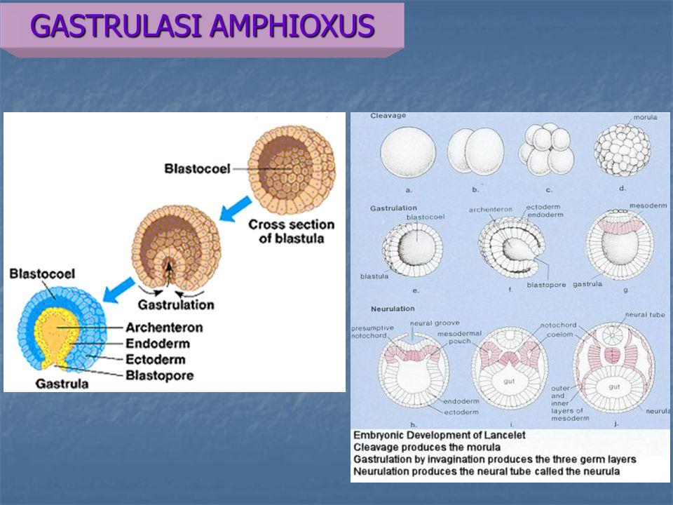 GASTRULASI AMPHIOXUS