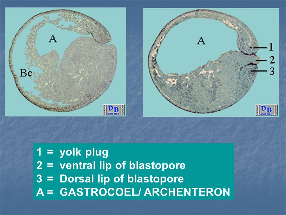 = yolk plug = ventral lip of blastopore = Dorsal lip of blastopore A = GASTROCOEL/ ARCHENTERON