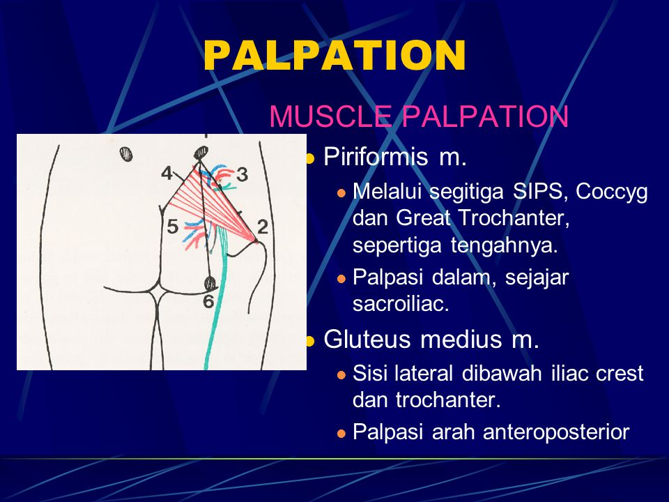 PALPATION MUSCLE PALPATION Piriformis m. Gluteus medius m.