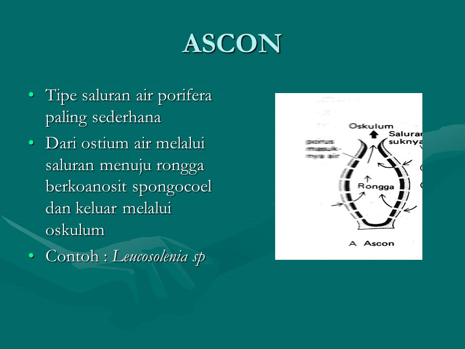 ASCON Tipe saluran air porifera paling sederhana
