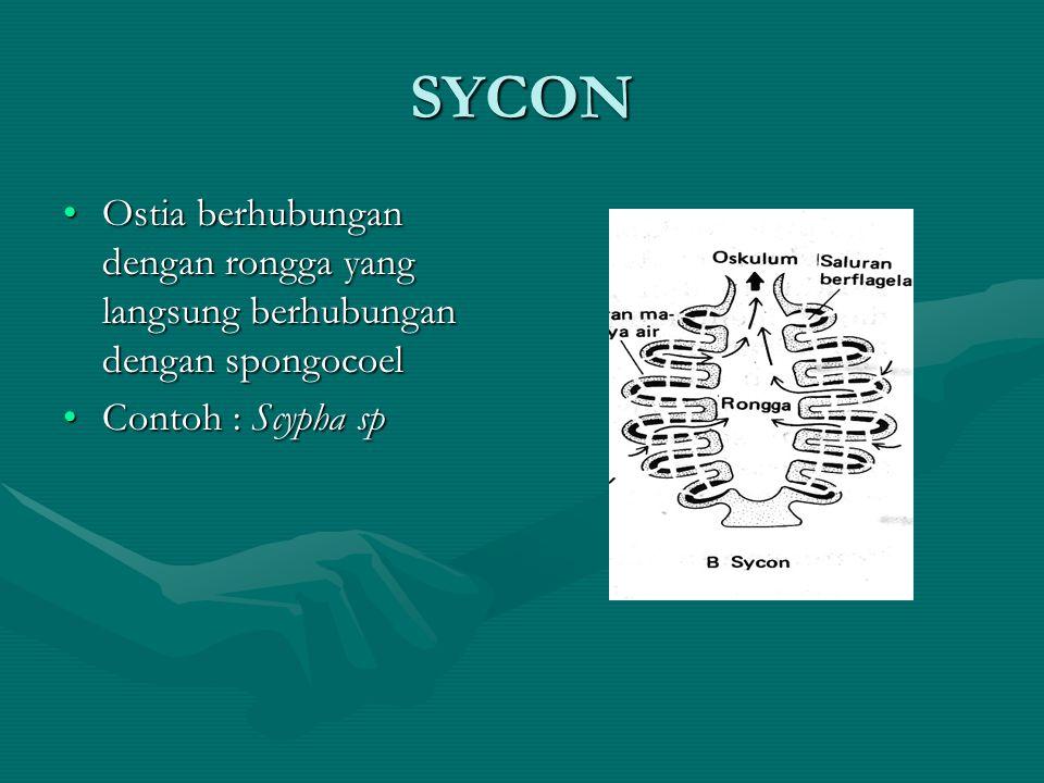 SYCON Ostia berhubungan dengan rongga yang langsung berhubungan dengan spongocoel.