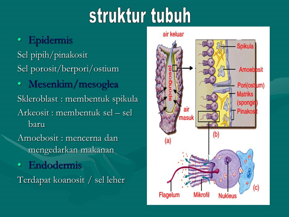struktur tubuh Epidermis Mesenkim/mesoglea Endodermis