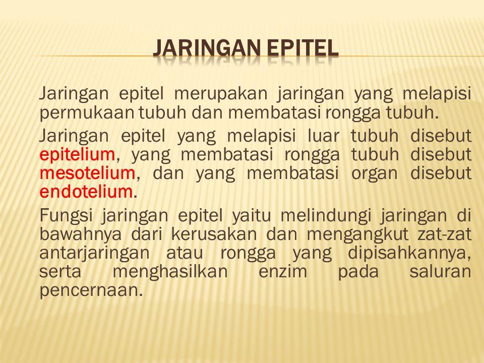 Jaringan Epitel Jaringan epitel merupakan jaringan yang melapisi permukaan tubuh dan membatasi rongga tubuh.