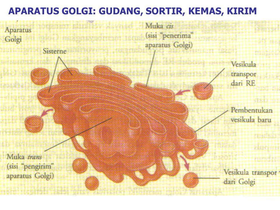 APARATUS GOLGI: GUDANG, SORTIR, KEMAS, KIRIM