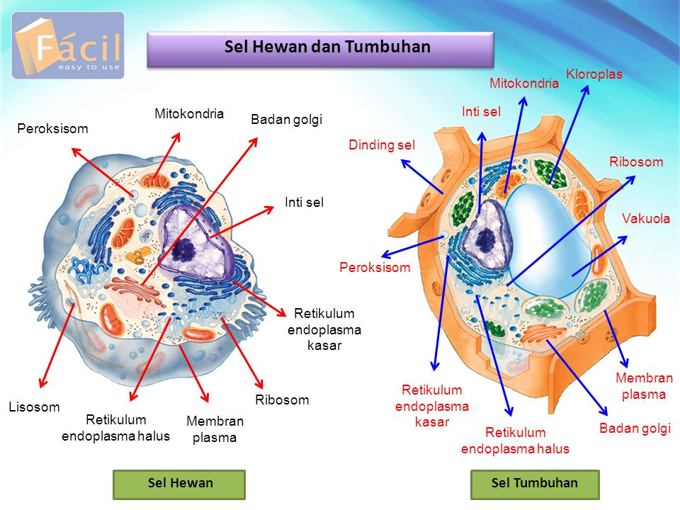 Sel Hewan dan Tumbuhan Sel Hewan Sel Tumbuhan Kloroplas Mitokondria
