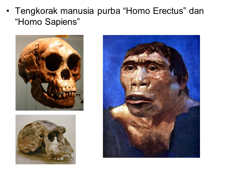 Tengkorak manusia purba Homo Erectus dan Homo Sapiens