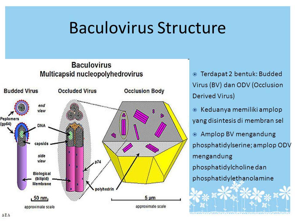 Baculovirus Structure