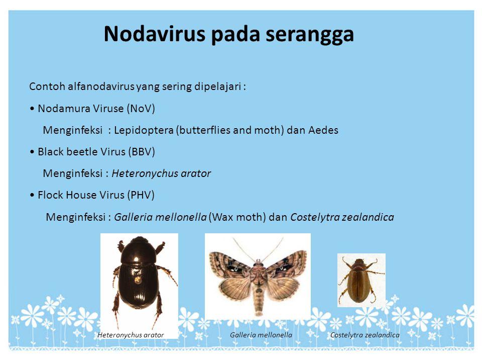 Nodavirus pada serangga