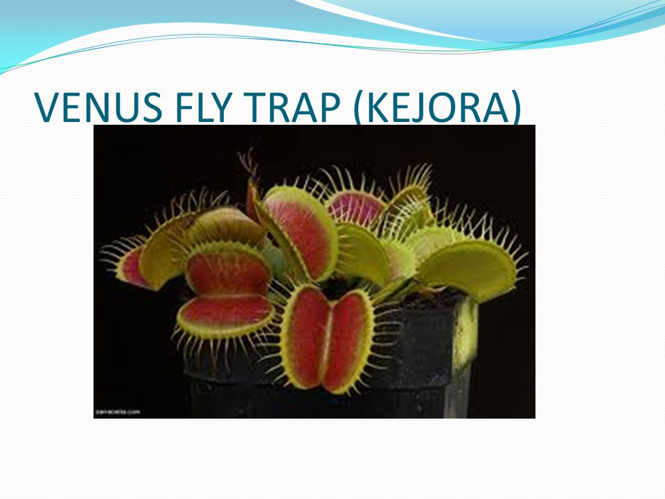 VENUS FLY TRAP (KEJORA)