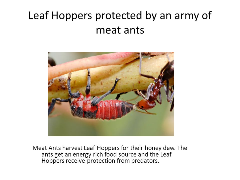 Leaf Hoppers protected by an army of meat ants