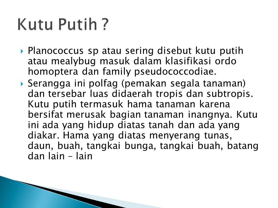 Kutu Putih Planococcus sp atau sering disebut kutu putih atau mealybug masuk dalam klasifikasi ordo homoptera dan family pseudococcodiae.