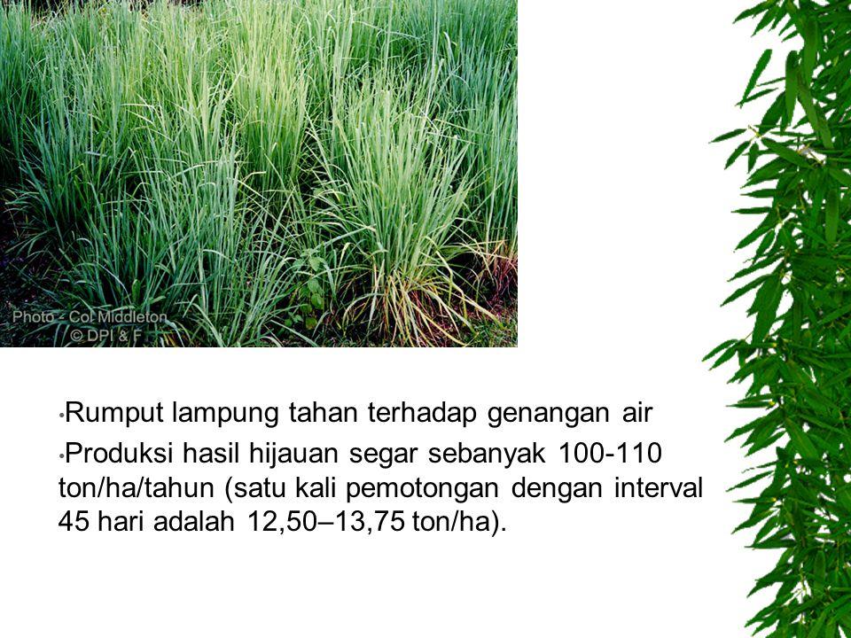 Rumput lampung tahan terhadap genangan air