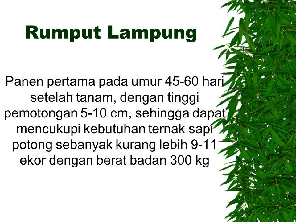 Rumput Lampung
