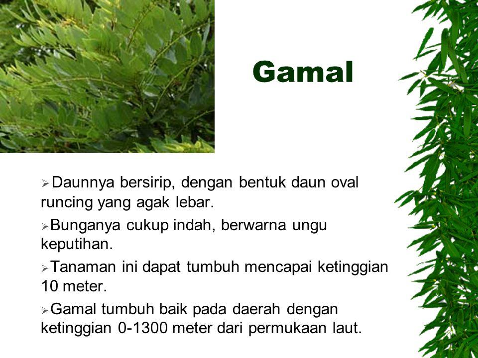 Gamal Daunnya bersirip, dengan bentuk daun oval runcing yang agak lebar. Bunganya cukup indah, berwarna ungu keputihan.